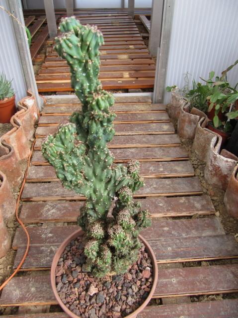 réf:85-1 Cereus Hildmannianus