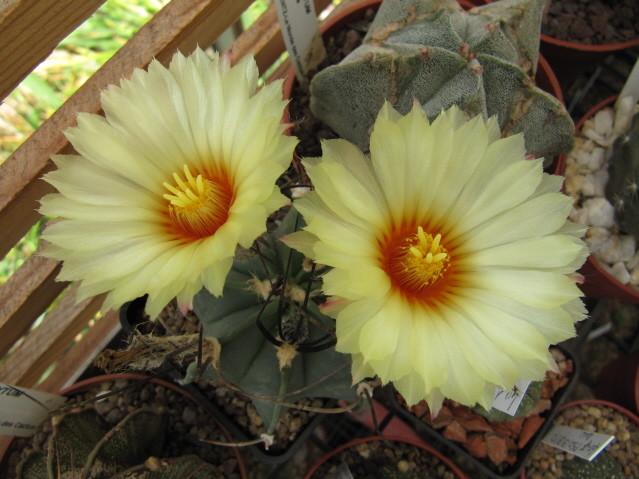 Astrophytum Capricorne var. crassispinum