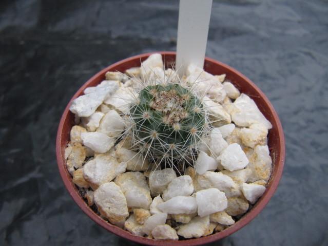 réf:404-1  Notocactus Arechavaletae (semis année 2009)