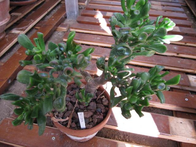réf:1531-1 Crassulacea Portulacea Monstruosa