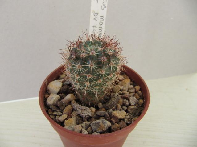 réf:408-1 Notocactus mammulosus gracilior  DV 74 (semis année 2009)