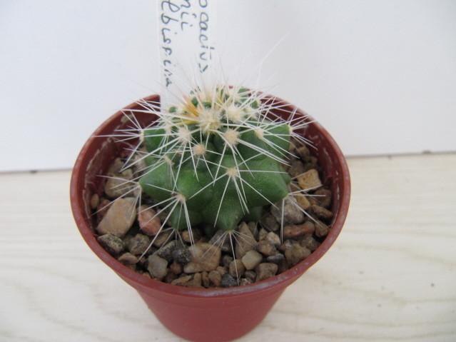 réf:127-1 Echinocactus  Grusonii fa. albispina