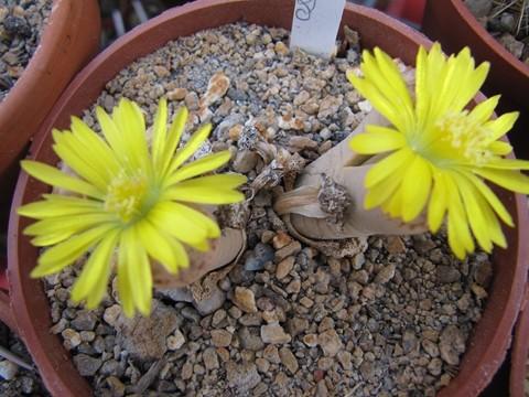 réf:28  Lithops Dinteri ssp, Frederici C180