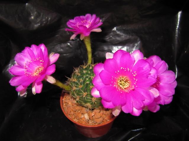 Echinopsis Ancistrophora ssp. cardenasiana WR 498