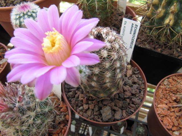 réf:130-1 Echinocereus Adutus