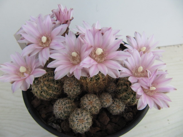 Gymnocalycium bruchii photo prise le 25-04-2013