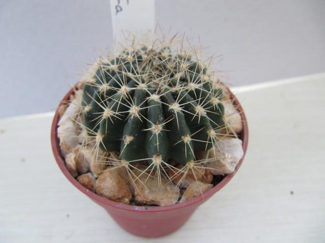 réf:157-1 Echinopsis Polyancistra