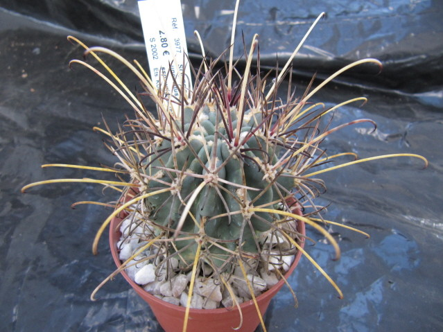 réf:511-1 Sclerocactus Uncinatus ssp. wrightii