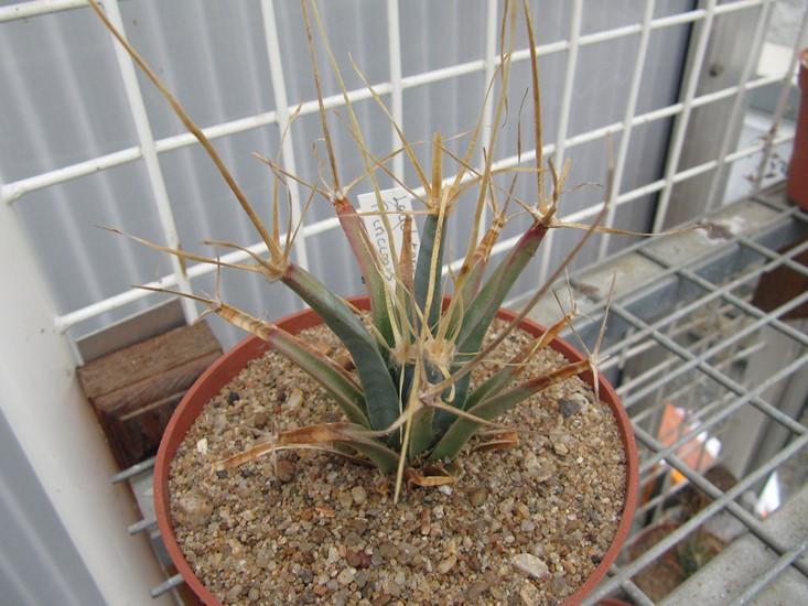 réf:281-1  Leuchtenbergia principis (semis année 2009) photo prise le 10-03-2018