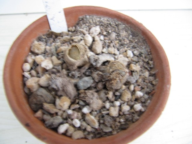 réf:1670 Lithops Pseudotruncatella C70
