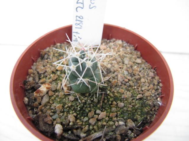 réf:558-1 Thélocactus Hexaedrophorus v. fossulatus JL2181+AF