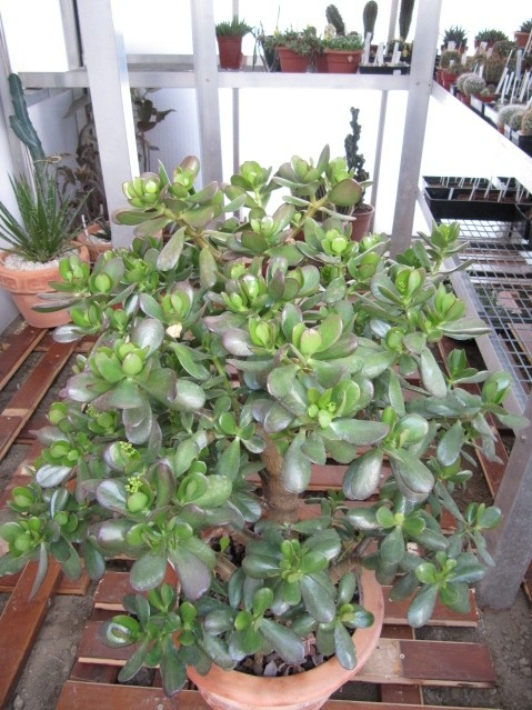 réf:1530-1 Crassulacea Portulacea