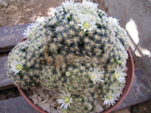 réf:309 Mammillaria Schiedeana