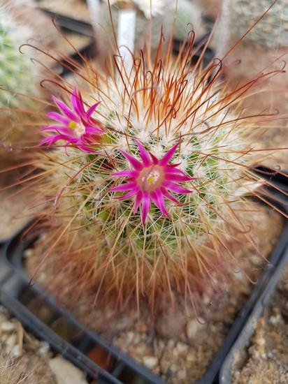 réf:315 Mammillaria Magnifica v, rubrispina