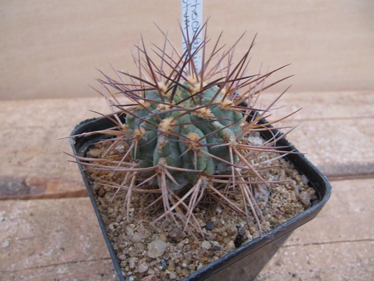 Acanthocalycium Minutum Hw Gougouss Cactus Succulente Agaves