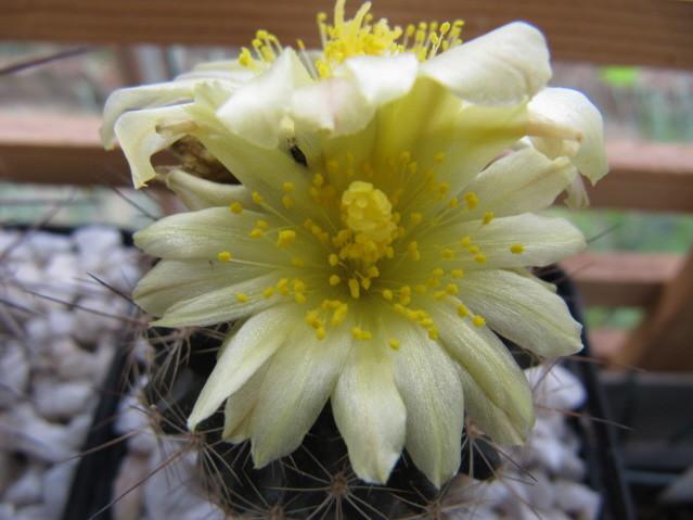 Copiapoa Humilis FR464
