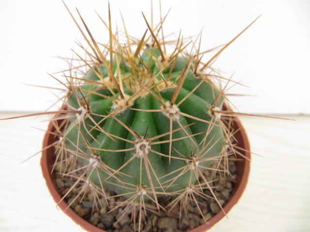réf:155-1 Echinopsis Atacamensis ssp, pasacana