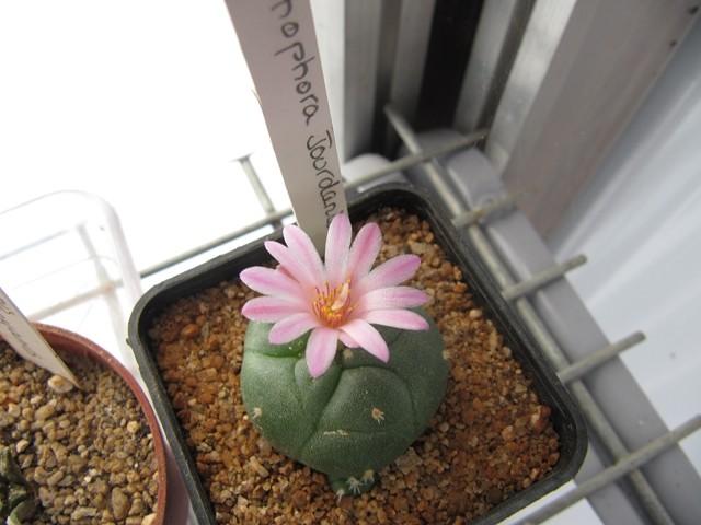 réf:621-1 Lophophora  Jourdaniana