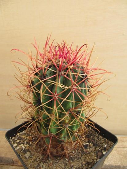 réf:225-1  Ferocactus Gracilis