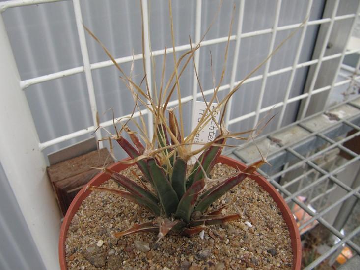 réf:281-3  Leuchtenbergia principis (semis année 2009) photo prise le 10-03-2018
