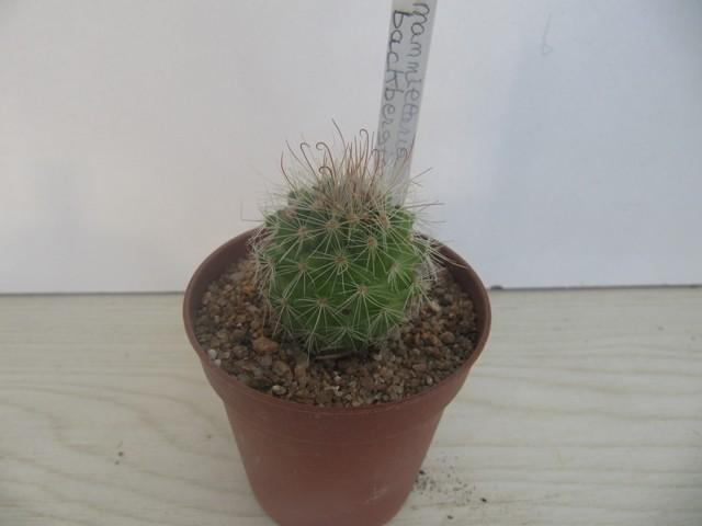 réf:797 Mammillaria  Backbergiana