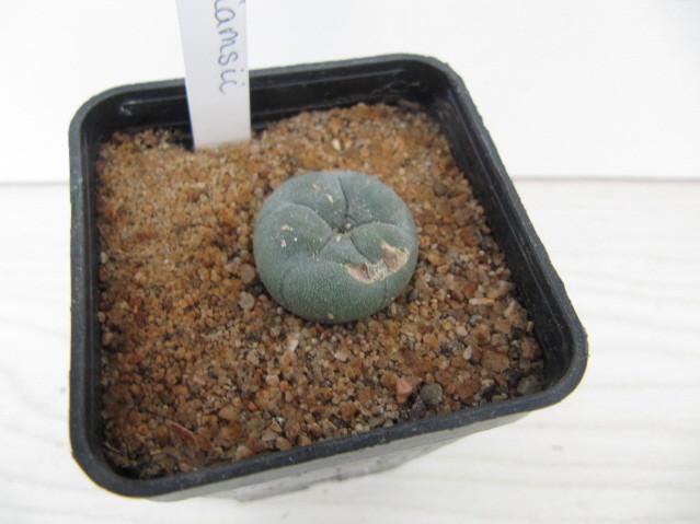 réf:622-2 Lophophora  Williamsii
