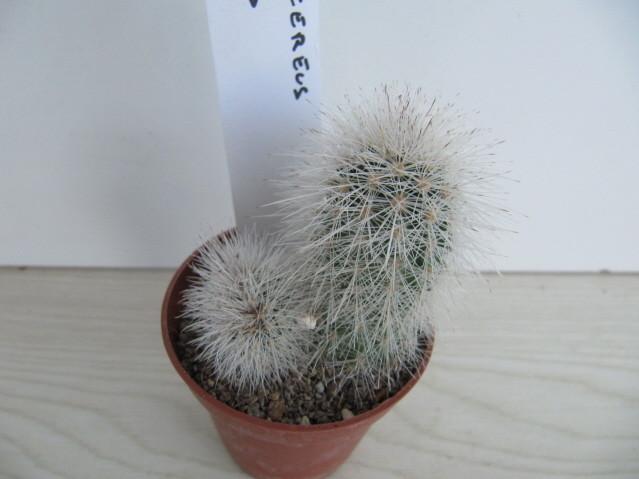 réf:1054-1 Echinocereus  Nivosus