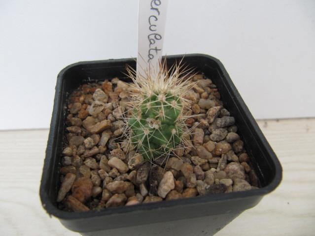 réf:334-1 Matucana Tuberculata