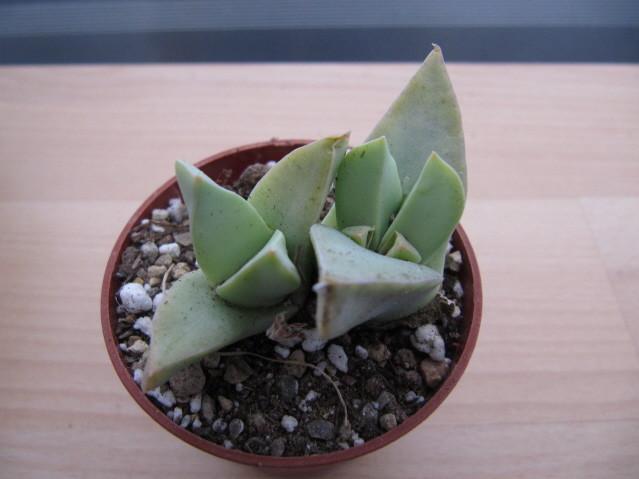 réf:1627-1  Conophytum Herreanthus