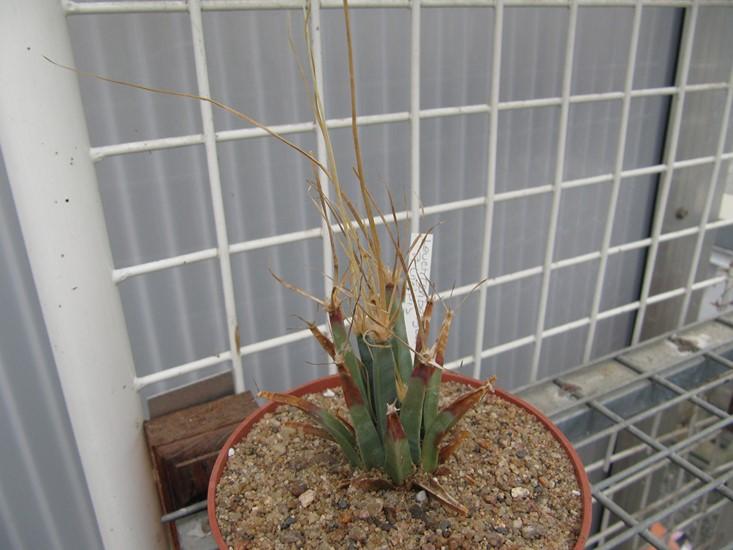 réf:281-2  Leuchtenbergia principis (semis année 2009) photo prise le 10-03-2018