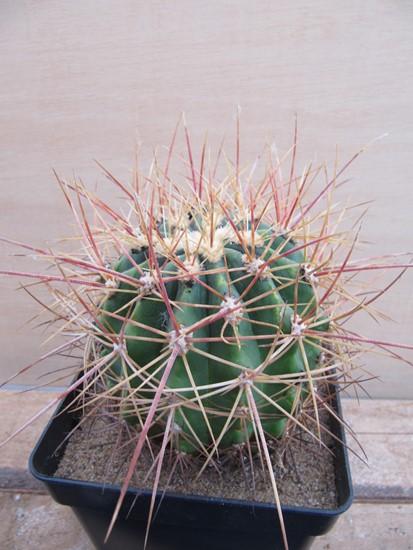réf:226-1  Ferocactus Alamosanus