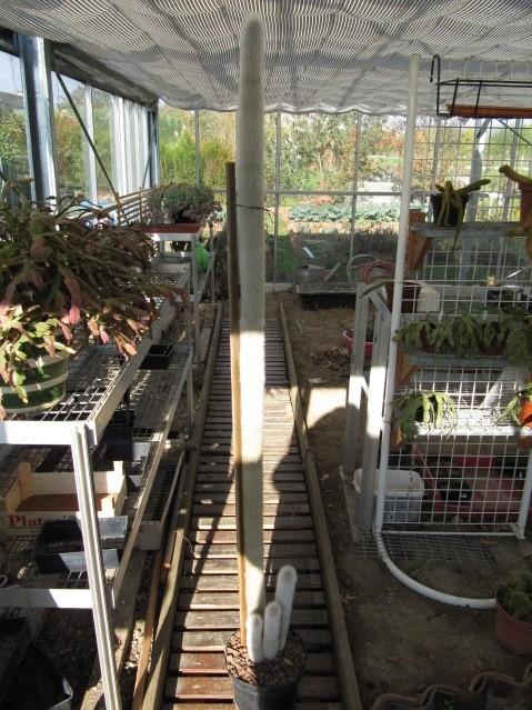 réf:95-1 Cleistocactus Strausii