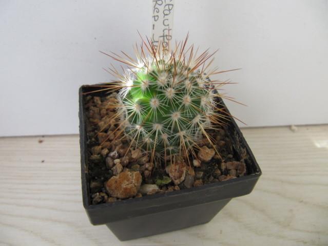 réf:314 Mammillaria Claviformis Rep-1462