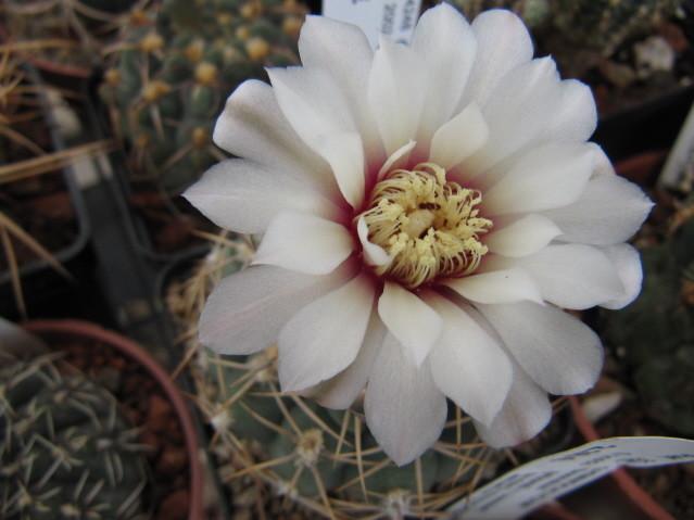 Gymnocalycium Ochoterenae ssp. Herbsthoferianum GN100-252