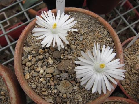 réf:31 Lithops Karasmontana ssp.eberlanzii C208