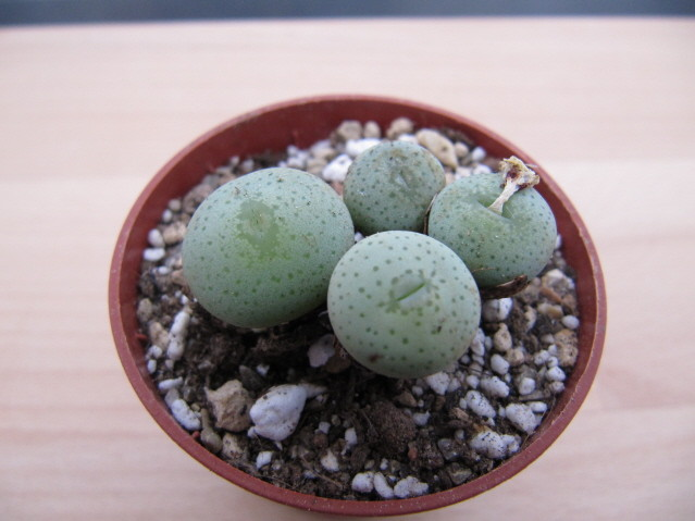 réf:1629-1  Conophytum Wettsteinii ssp. Ruschii