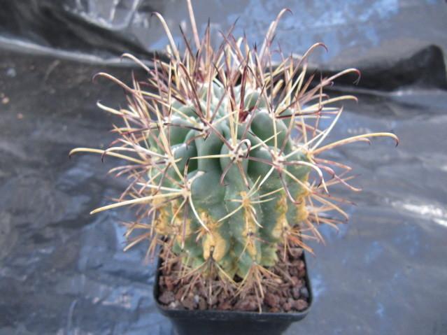 réf:510-1 Sclerocactus uncinatus