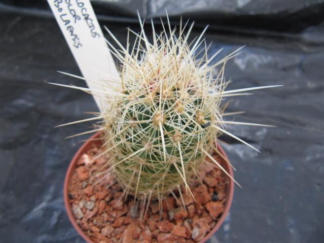 réf:551-1 Thélocactus Bicolor v. bolaensis SB 281