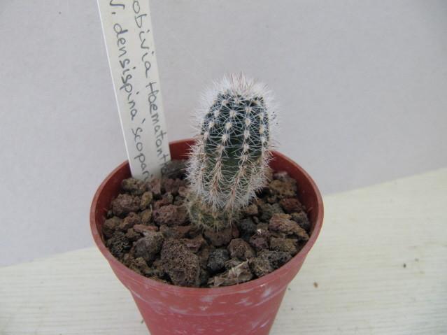 réf:294-1 Lobivia Haematantha v, densispina scoparia (semis année 2009)