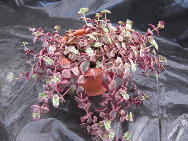 réf:1532-1 Crassula pellucida ssp. marginalis v.rubra