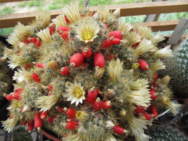 réf:308 Mammillaria prolifera
