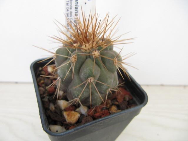 réf:767-1 Copiapoa cinerea ssp.haseltoniana RCP51