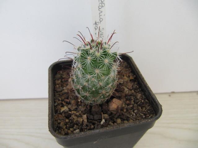 réf:312 Mammillaria Swinglei fa, inaiae