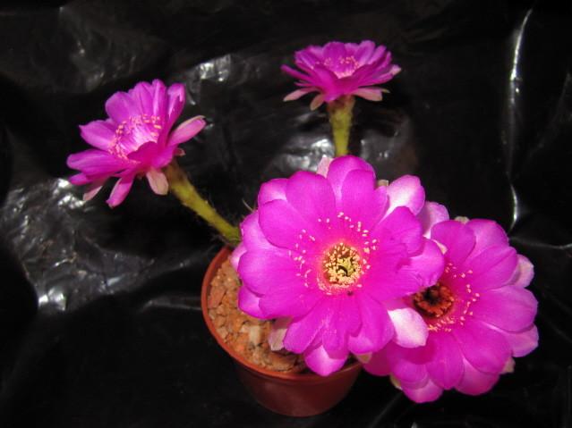 réf:150-1 Echinopsis Ancistrophora ssp. Cardenasiana WR498