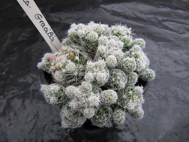 réf:303 Mammillaria gracilis