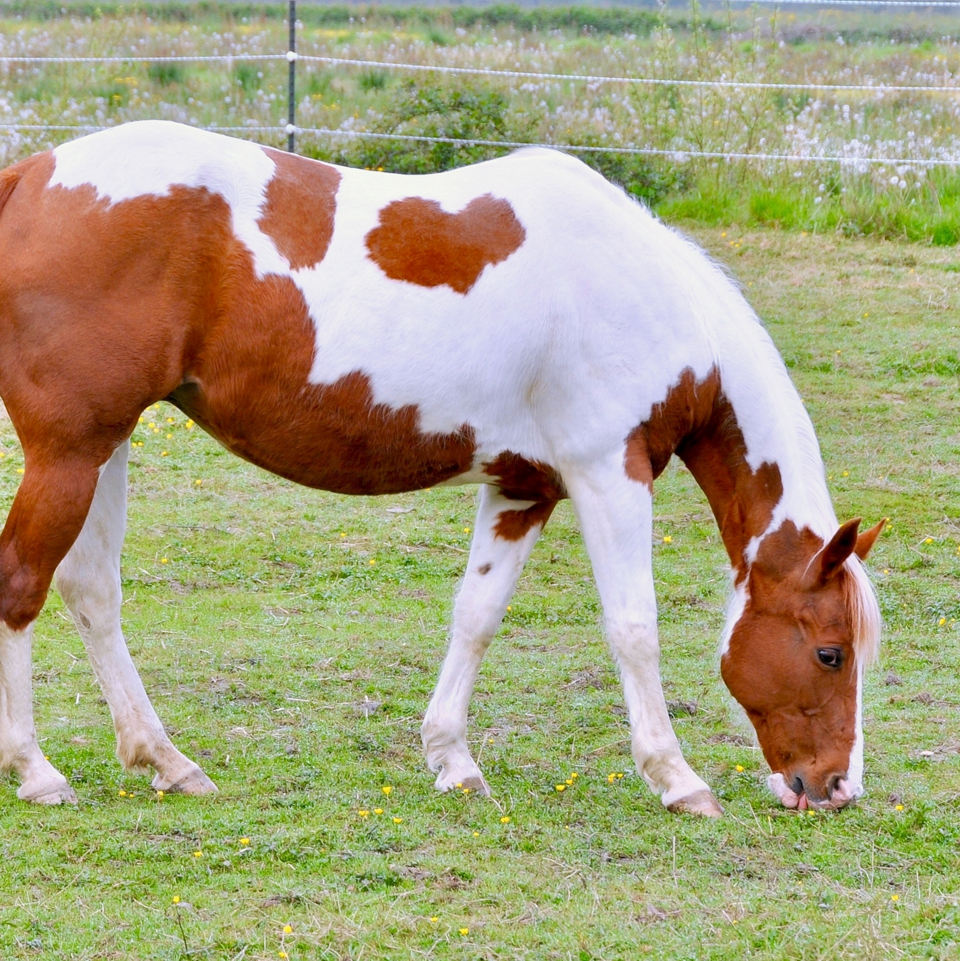 Miccamale Coccolina, APHA paint horse