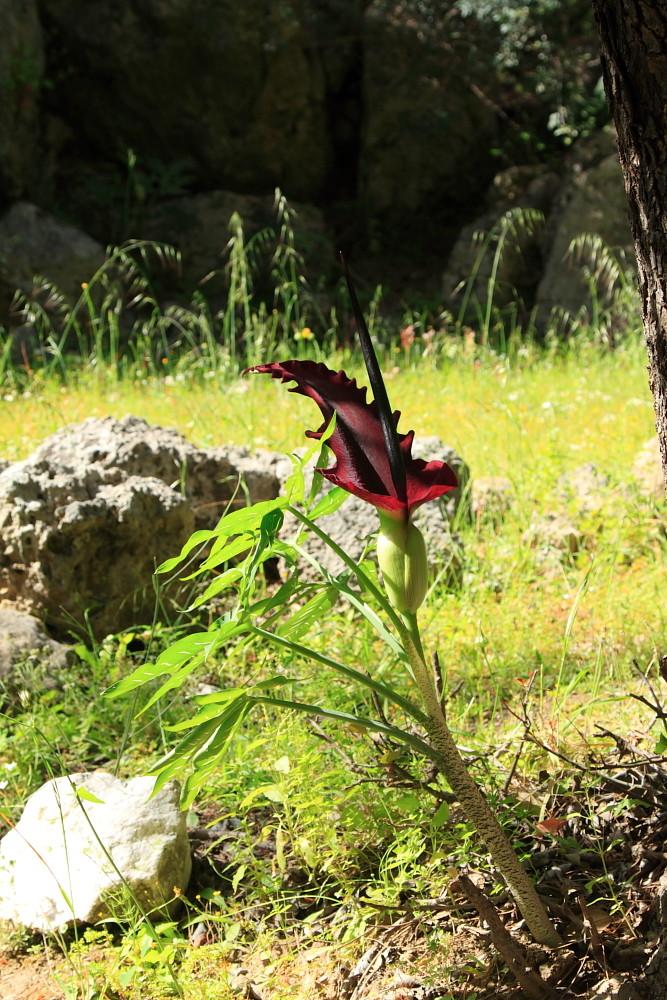 Fleur andémique de l'île: Draconculus vulgaris