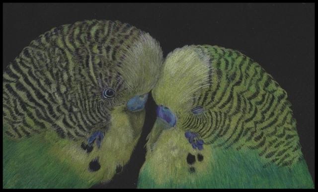 Tierzeichnung, Vogelzeichnung,Wellensittiche,Farbstift