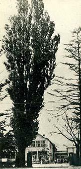 平岸小学校校門脇に悠然とそびえるポプラ(平岸小学校開校70周年記念誌より)