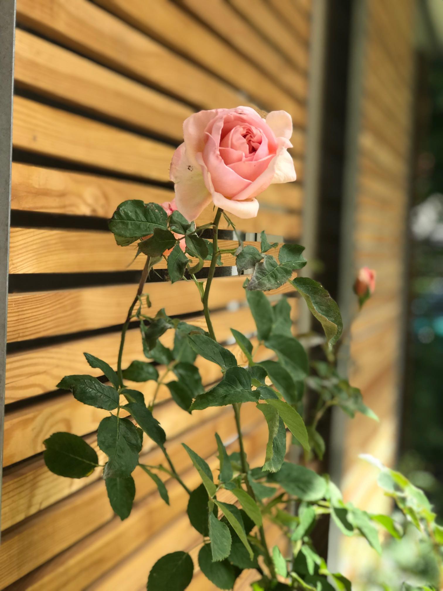 Detailaufnahme Garten Schiebelement mit Rose Landpraxis Altfriedland